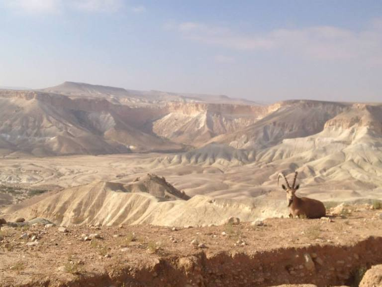 Ibex in the Negev Desert.—Sde Boker, Israel.